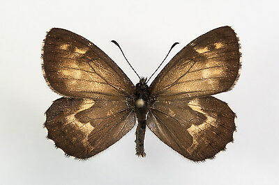 Nymphalidae, Hipparchia occidentalis, male, Flores