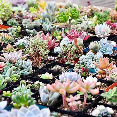 Succulents Seeds Flower Seeds Mixed Rare Potted Plant Home Garden 60 pcs AU SL