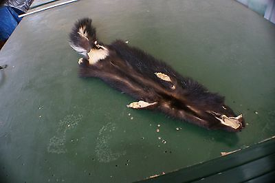 Nice Skunk pelt w/ ft 31' tip -tip taxidermy mountable by the skilled. pro tan.