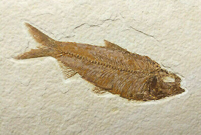 A Grade Knightia eocaena Fossil Fish Green River Formation Wyoming