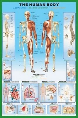 "The Human Body Laminated Poster ""Licensed"" Brand New ""Anatomy Educational"