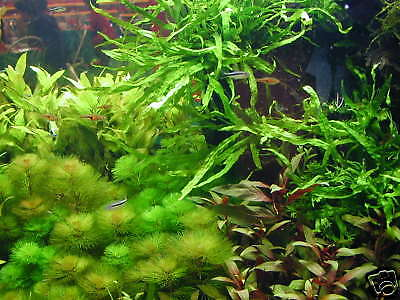 1 lot de 100 brins de plante  pour aquarium crevette filtre  made in france +