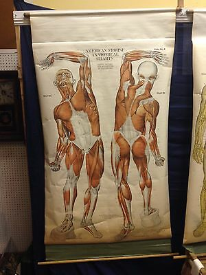 """Vintage AJ Nystrom Anatomical Chart Muscle System -1918 (75"""" x 42"""")"""