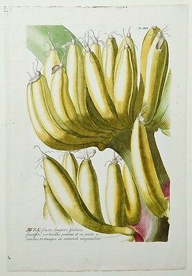 'Bananas' Plantae Selectae by Cristoph Jacob Trew in Nuremberg in 1750