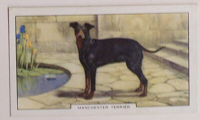 1930's Gallaher Dogs Card Manchester Terrier #17