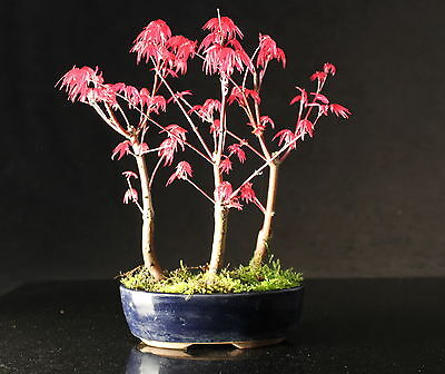 Japanese Maple 25-30 cm Forest Bonsai tree in oval ceramic pot