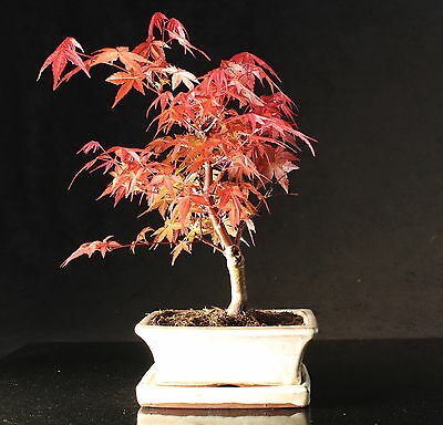 Japanese Maple 25-30 cm Bonsai tree in ceramic pot with Drip tray