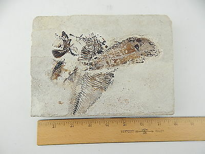 "DISPLAY DOUBLE FISH FOSSIL Matrix Slab 7.5"" x 5.5"" x 1"" Green River WYOMING 3 lb"