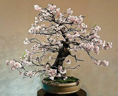 Bonsai White Flowering Crepe Myrtle Seeds Lagerstroemia Indica Seed Indoor Pot