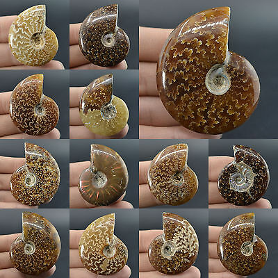 "33-76mm Ammonite fossil piece *each one pictured*1.3""-3"""