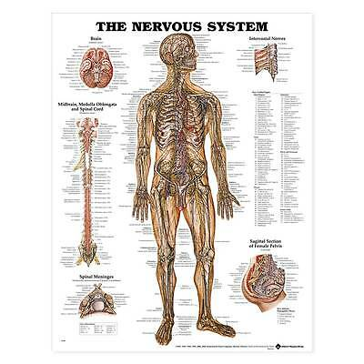 The Nervous System Anatomical Chart Poster Laminated Deluxe Professional Grade
