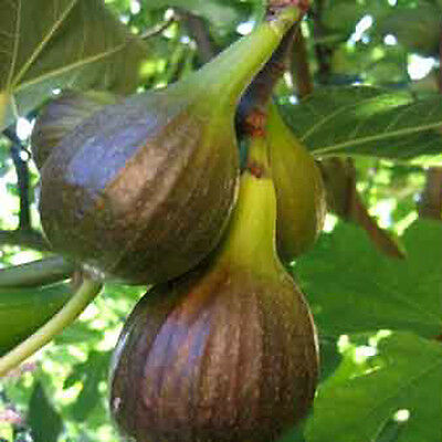 Ficus carica Brown Turkey in 9cm pot, grow your own Fig
