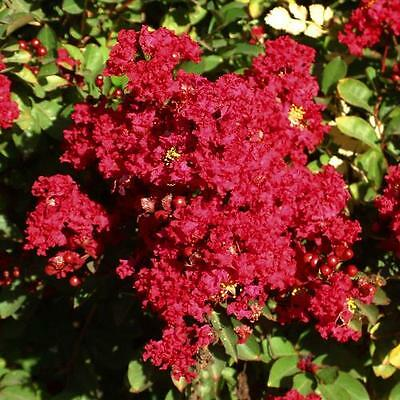 Lagerstroemia indica Red Imperator in 9cm pot potential as flowering bonsai