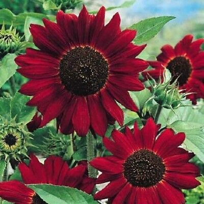 Red Giant Sunflower - Red Sun - Helianthus Annuus - 200 Flower Seeds -Large Pack