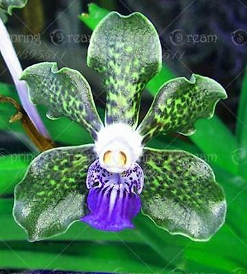 Exclusive Sales! 200pcs/bag rare orchid Tectorum Flower Seeds