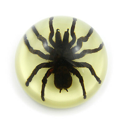 Genuine Preserved Tarantula SPIDER Specimen Paperweight Glow  Dark Paper Weight