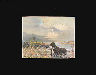 Vintage Irish Water Spaniel Dog Print 1931 by R. Ward Binks ~ BEAUTIFUL! ~ 9x12