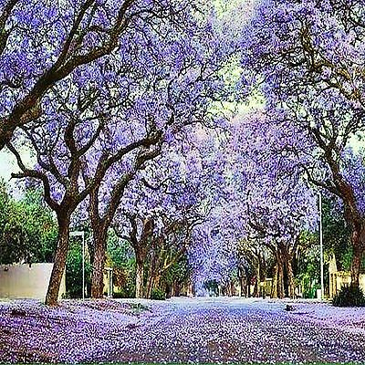 Jacaranda Tree Seeds Jacaranda Mimosifolia Hardy Flowering Tree