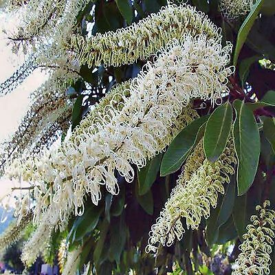 Ivory Curl Flower Seeds Buckinghamia Celsissima Native Flowering Tree