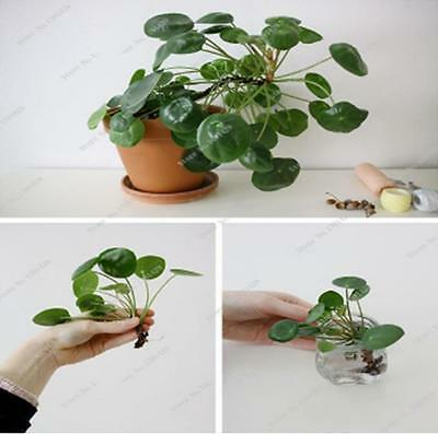 Beautiful Plant Chinese Money Tree Seeds Hanging Water Grass Seeds - 200pcs