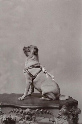 Early 1900's Pug Dog Cabinet Photo -  LARGE New Blank Note Cards