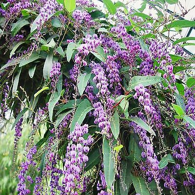 Happy Wanderer Seeds Hardenbergia Violacea Flowering Climber 15 Seed Pack