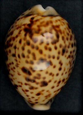 Cypraea tigris. YELLOW FROM 5 MILES! LARGE!