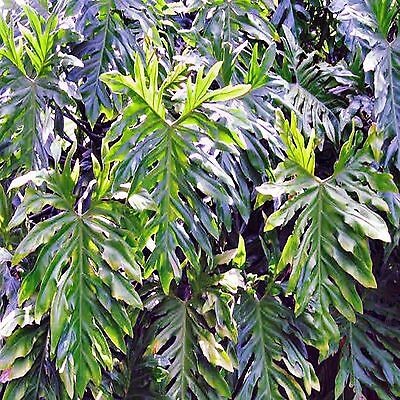 Lacy Tree Philodendron Seeds Philodendron Selloum Bulk 40 Seed Pack
