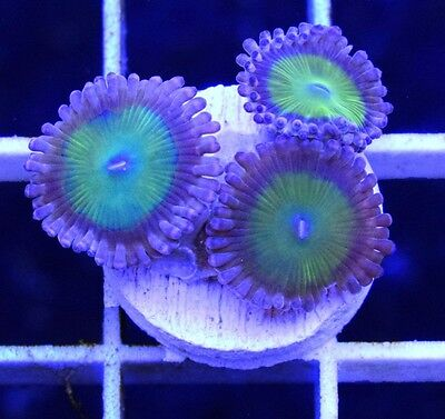 Marine Coral frag reef Zoas Zoanthids - White Elephant People Eaters