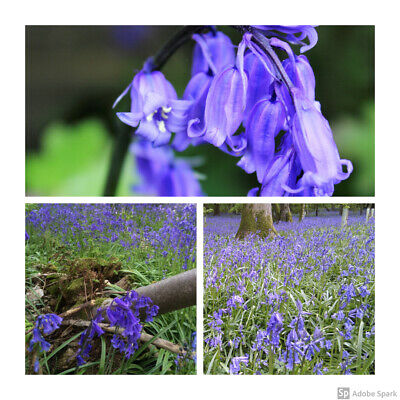 100 x Cultivated English Bluebell Bulbs Hyacinthoides non-scripta