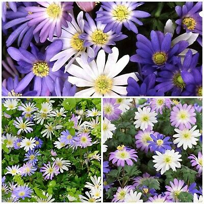 Anemone Blanda Mixed x 200 Bulbs/Corms.Pretty Spring Daisy Flowers