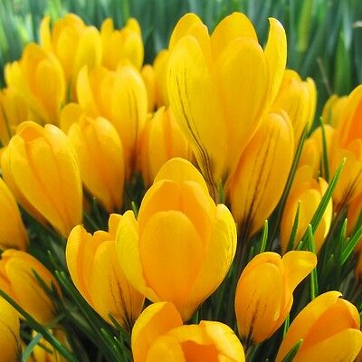 20 x Humphreys Garden Crocus Yellow.Easy to grow.Yellow Spring Flowering bulbs
