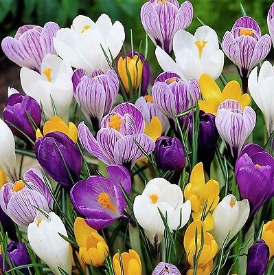 50 x Humphreys Garden Crocus Mixed. Easy to grow. Colourful Spring Flower bulbs.