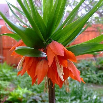 3 x Humphreys Garden Fritillaria (Crown Imperial) Rubra.Orange/Red Spring Flower