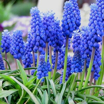 50 x Humphreys Garden Muscari Armeniacum Bulbs.Spring Flowers Grape Hyacinth