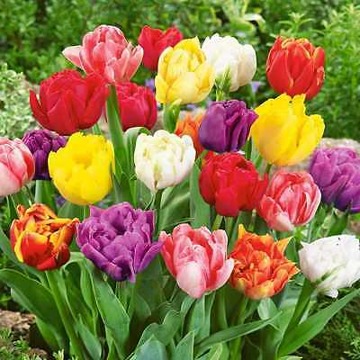 100 x Mixed Double Early Tulip Bulbs.Double bloom of ruffled petals.Easy to grow