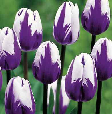 Humphreys Garden Blueberry Ripple Tulip x 30 Bulbs Stunning Spring flowers Rare.