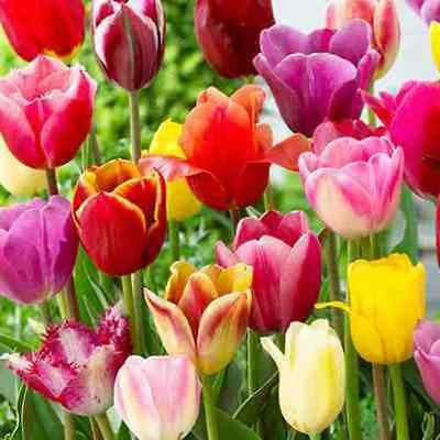 100 x Mixed Triumph Garden Tulips. Beautiful variety of colour. Easy to grow.