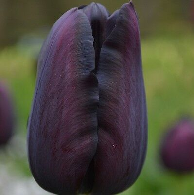 10 x Queen of the Night Tulip Bulbs. Easy to grow. Almost Black Spring Flowers.