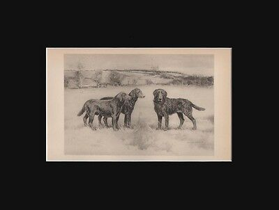 Antique Irish Water Spaniel Dogs Print  by Arthur Wardle 1897 9X12 Matted