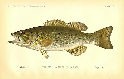 Very Rare Early 1889 Denton Fish Print Small-mouthed Black Bass ~ First Denton's