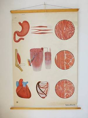 Vintage Medical Chart - STRUCTURE OF MUSCLES CHART  - VGC - Adam, Rouilly & Co
