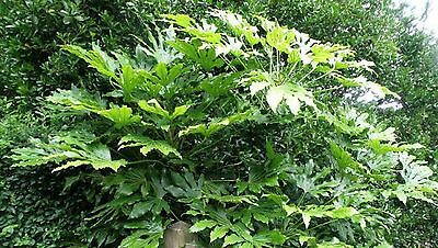 Japanese Aralia Seeds Indoor Outdoor Evergreen Aralia Japonica Seed 40 Seed Pack