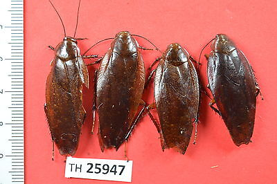 TH25947# Beetle Cerambycidae Lucanus Hymenoptera Coleoptera # Vietnam CENTRAL