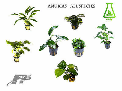 Anubias live aquarium plants - Over 20 varieties - shrimp tank - aquascaping