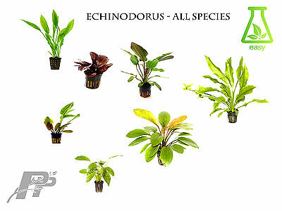 Echinodorus Live Aquarium Plants - Fish Tank - Aquascaping - Shrimps - Very Easy