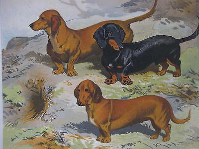 Dachshunds ~ Antique Print/ Plate from Cassell's Book of the Dog ~19th Century