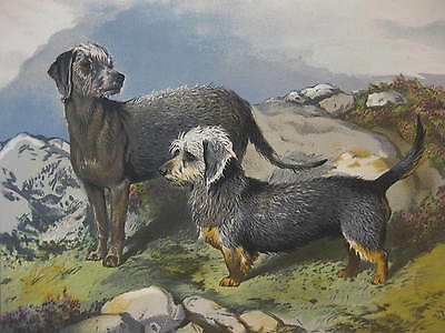 Terriers ~ Antique Print / Plate from Cassell's Book of the Dog ~ 19th Century