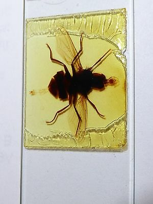 Rare 1860's Victorian Microscope Slide of Winged Beetle