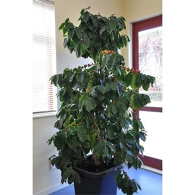 Coffea Arabica One Live Plant in pot  with Soil.